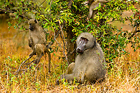 Baboons, Kruger National Park, South Africa