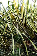 Pandanus palm, Oahu, Hawaii