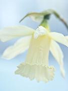 Narcissus 'W.P. Milner' - trumpet dafodil