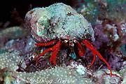 red-legged hermit crab or red reef hermit, <br /> Paguristes cadenati, Key Largo, Florida<br /> Florida Keys National Marine Sanctuary<br /> ( Western Atlantic Ocean )