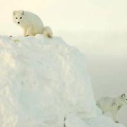 Arctic Fox (Alopex lagopus) Pairalong the ice edge of Hudson Bay, Cape Churchill, near Churchill, Manitoba, Canada. November