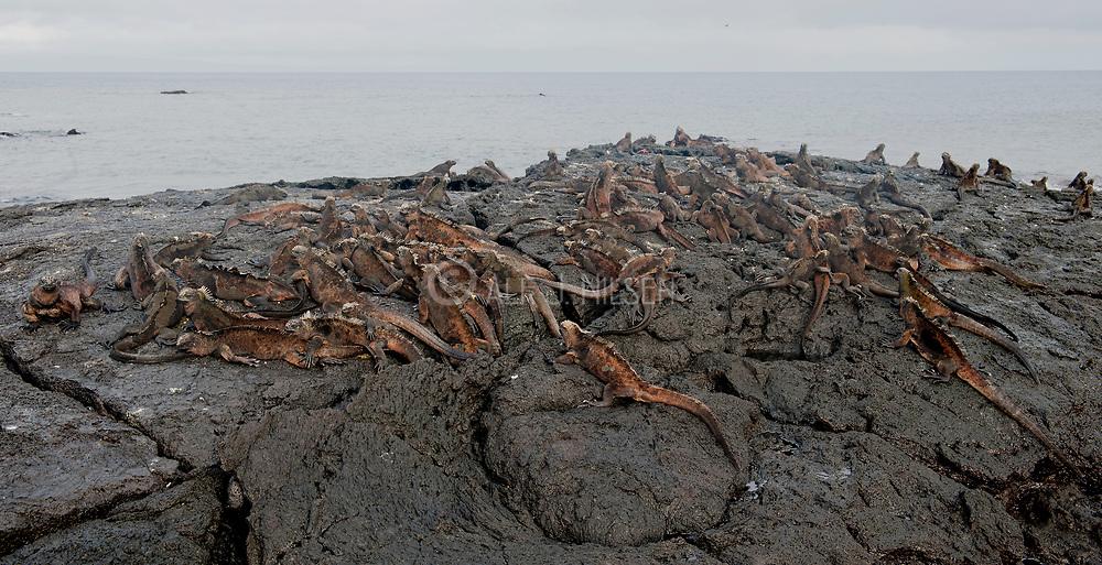 Large gathering of Marine Iguanas (Amblyrhynchus cristatus) at james bay, Santiago, Galapagos.