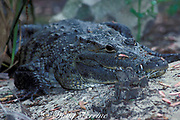 Morelet's crocodile, Central American crocodile, or<br /> Belize crocodile, Crocodylus moreletii (c), <br /> an Endangered species, occurs on the Caribbean side of<br /> Central America from Mexico to Guatemala