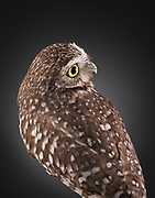 Burrowing Owl (Athene cunicularia). Having suffered significant head trauma, Topper has balance issues and some visual impairments. Ojai Raptor Center, California.