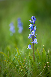 Hispanic or Spanish bluebell growing in grass. Hyacinthoides hispanica
