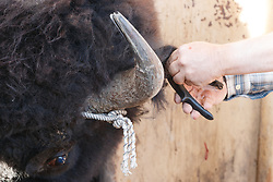 Bison  receiving ear tag during bison roundup, Ladder Ranch, west of Truth or Consequences, New Mexico, USA.