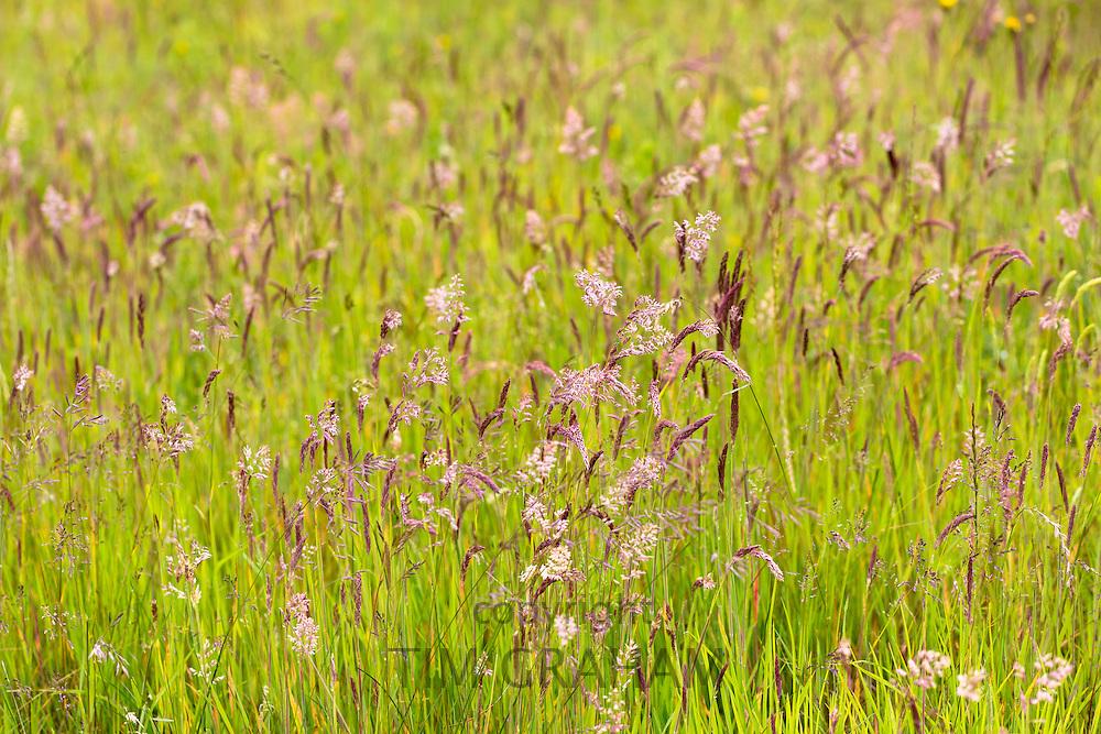 Wild ornamental grasses in wildflower meadow grassland field in Gloucestershire, UK