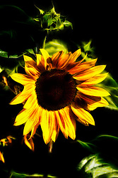 A sunflower plant of the genus Helianthus having large flower heads with dark disk florets and showy yellow rays. A very tall plant that has large yellow flowers with a round brown center. Sunflowers produce seeds that are used for making cooking oil.