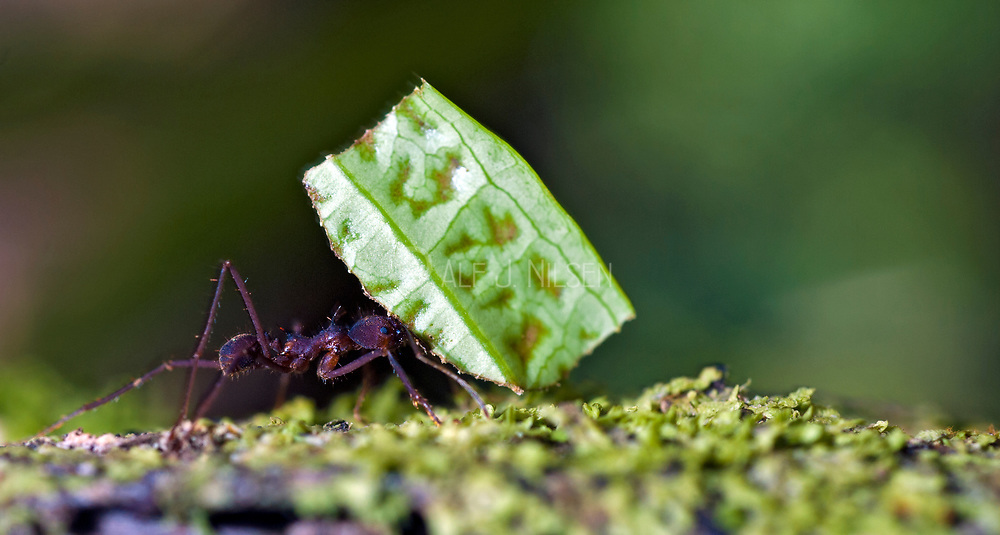 Leafcutter ant (Atta sp.) from the rainforest at laSelva, Ecuador.