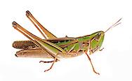 Admirable Grasshopper (Female) (Syrbula admirabilis)