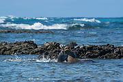 Hawaiian monk seal, Neomonachus schauinslandi, formerly Neomonachus schauinslandi ( Critically Endangered, endemic species ), 8-9 year old female, squabbles with her 6 week old pup over timing of nursing, Kaiole Bay, near Kamilo Point, Ka'u, Hawaii ( the Big Island )