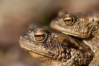 13.04.2009.Common Toad (Bufo bufo) mating..Bergslagen, Sweden.