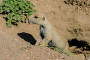 Baby prairie dog in late spring