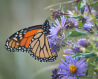 Monarch Butterfly Feeding on a Purple Wildflower. Image taken with a Nikon D2xs camera and 80-400 mm telephoto zoom lens (ISO 400, 400 mm, f/5.6, 1/125 sec).
