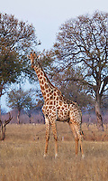 Giraffe on the African savanna, Zimbabwe. Nature photography, fine art photography prints, stock images, wall art.