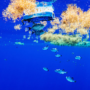 Grey tiggerfish (Balistes capriscus) hide under a large piece of plastic while juvenile ocean triggerfish (Canthidermis sufflamen) swim among sargassum seaweed near the surface. Sargasso Sea, Atlantic Ocean.