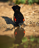 Red-winged Blackbird Taking a Drink at Dos Vandas Ranch in Southern Texas. Image taken with a Nikon D800 camera and 400 mm f/4 lens (ISO 110, 400 mm, f/2.8, 1/1000 sec).