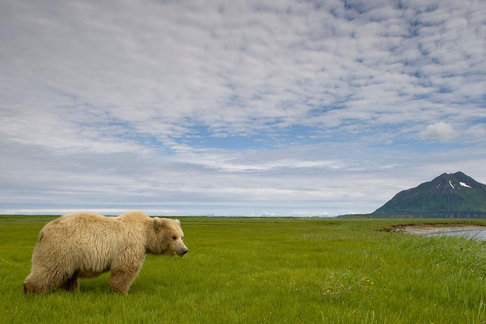 USA, Alaska, Katmai National Park, Brown Bear (Ursus arctos) feeding on sedge grass in meadow along Hallo Bay