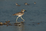 Great Thick-knee (Esacus recurvirostris)<br /> National Chambal Sanctuary or National Chambal Gharial Wildlife Sanctuary<br /> Madhya Pradesh, India<br /> Range: Iran, Pakistan, India, Sri Lanka, Nepal, Bhutan, Bangladesh, Myanmar, Thailand, Laos, Cambodia, Vietnam and southern China<br /> NEAR THREATENED