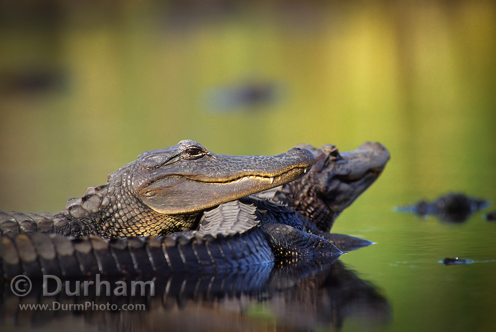 American alligators (Alligator mississippiensis) sunning in the water at the Aransas National Wildlife Refuge, Texas.