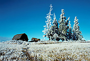 Old barn and hoarfrost covered spruce trees<br />Stony Plain<br />Alberta<br />Canada