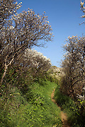 Hedgerow blossom lines a narrow footpath, Island of Sark, Channel Islands, Great Britain
