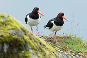 Pair of Oystercatchers, Haematopus ostralegus, black and white Oystercatcher wading birds with long orange beaks (bills) walking on Isle of Mull in the Inner Hebrides and Western Isles, West Coast of Scotland
