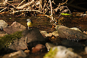Grey wagtail searching for insects, while lit by sunlight filtering through the tree canopy.
