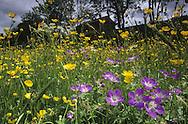 Swaledale hay meadows, Yorkshire Dales, UK