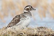 Long-tailed Duck - Clangula hyemalis - breeding female