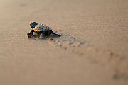 Soon the hatchling loggerhead sea turtle (Caretta caretta) will be safe from the ghost crabs and the fast growing heat of the rising morning sun. | Unechte Karettschildkröte (Caretta caretta)