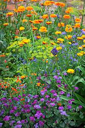 Calendula 'Indian Prince', Ageratum houstonianum 'Red Sea F1', Emilia javanica , Echium vulgare 'Blue Bedder'  and Dill - Anethum graveolens