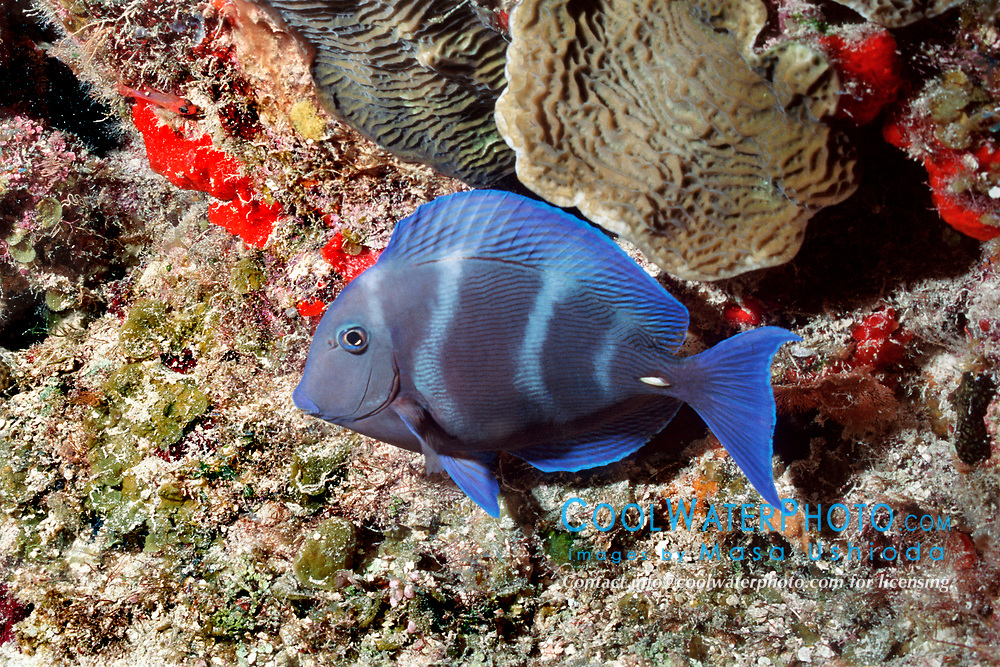 blue tang, night color phase, Acanthurus coeruleus, Chankanaab at night, Cozumel, Mexico, Caribbean Sea, Atlantic Ocean