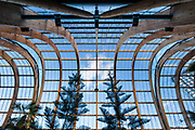 A symmetrical view looking vertically upwards at the incredible design of the Winter Garden in Sheffield. The wooden beams arch overhead and, along with the two main trees, frame a lone cloud in the centre. Urban architecture in South Yorkshire, UK.
