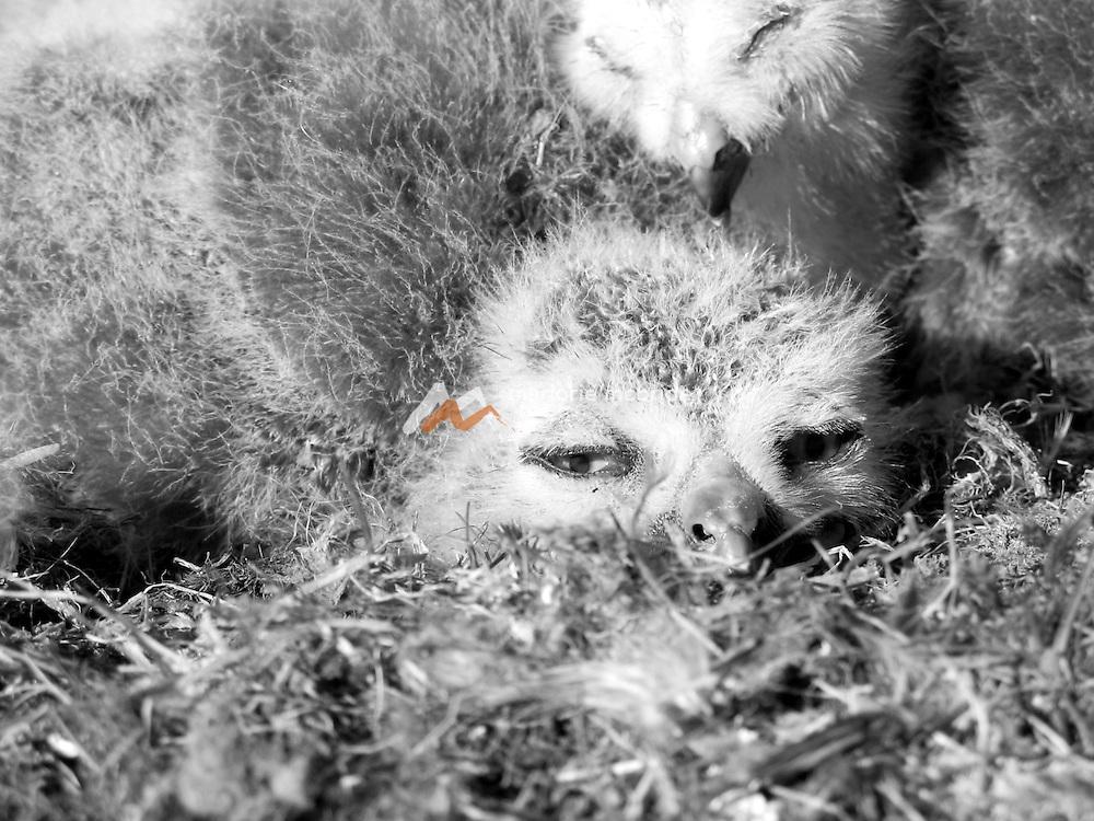 Snowy owl chicks nesting on the tundra. Barrow, Alaska.