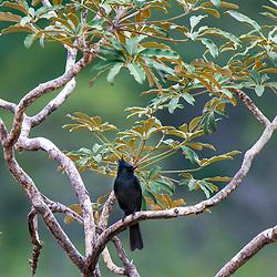 Maria-preta-de-penacho (Knipolegus lophotes) fotografado no Parque Nacional da Chapada dos Veadeiros - Goiás. Bioma Cerrado. Registro feito em 2015.<br /> ⠀<br /> ⠀<br /> <br /> <br /> <br /> <br /> ENGLISH: Crested Black-Tyrant photographed in Chapada dos Veadeiros National Park - Goias. Cerrado Biome. Picture made in 2015.