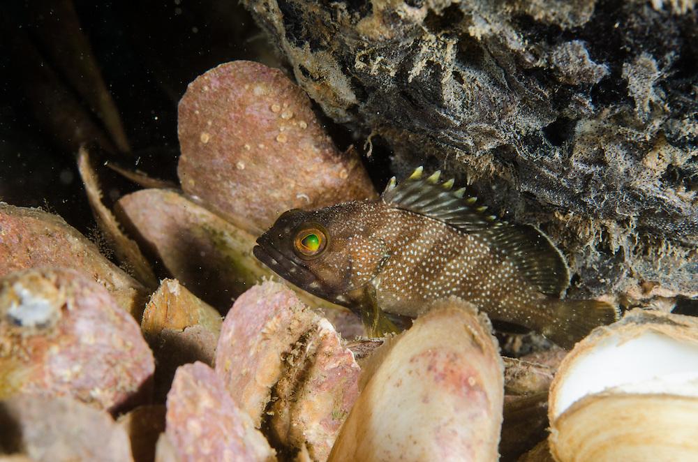 Halfmoon, Grouper, Epinephelus rivulatus