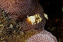 Periclimenes brevicarpalis, Pfauenauge Partnergarnele, Glass Anemone Shrimp, Peacocktail anemone-shrimp, Paradise Riff Reef, Rotes Meer, Ägypten, Red Sea Egypt