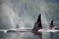 Orca pod in Johnstone Strait, West Coast, British Columbia