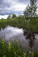 Europa, Deutschland, Nordrhein-Westfalen, Troisdorf, Teich im Herfeldmoor der Wahner Heide, Wollgras. - <br /> <br /> Europe, Germany, Troisdorf, North Rhine-Westphalia, pond in the Herfeld bog in the Wahner Heath, common cottongrass.