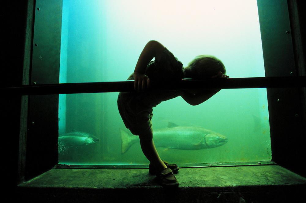North America, United States, Washington, Seattle, silhouette of boy (age 3) looking at salmon through window at fish ladder at Hiram Chittenden Locks.  MR