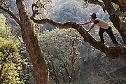 Bibek Gurung, a Nepali trekking guide, climbs a high branch in the jungle, Annapurna Himalaya, Nepal.