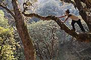 Bibek Gurung, a Nepali trekking guide, climbs a high branch in the jungle, Annapurna Himalaya, Nepal.