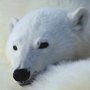 Polar Bear portrait of a cub snuggled near its mother. Canada