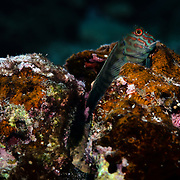This is a red-streaked blenny (Cirripectes stigmaticus) perched on a favored lookout point.