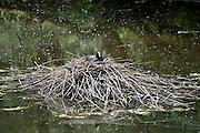 Nederland, Werkendam, 25-5-2014Een meerkoet broedt in haar nest op het water.Natuurgebied Hollandse Biesbosch, rondvaart met elektrisch aangedreven fluisterboot.De biesbosch is naast natuurgebied ook recreatiegebied. Op het water varen zeilboten, luxe plezierjachten, sloepen en kanos.Foto: Flip Franssen/Hollandse Hoogte