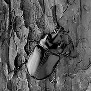 Rhinoceros beetle, male, Strategus julianus, Selenium toned gelatin silver print.