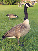 two Canada geese in a park