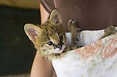 Serval Rescue