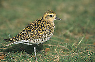 Pacific Golden Plover - Pluvialis fulva - winter adult